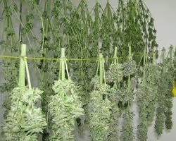 growing-marijuana-8